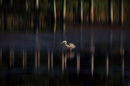 A lone Great Blue Heron wades in a wetland along the South Carolina coast at sunset photo