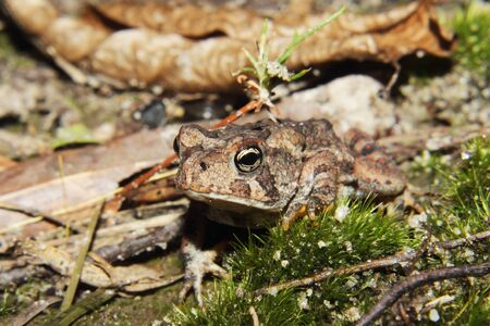 underbrush: A small Southern Toad in the underbrush Stock Photo