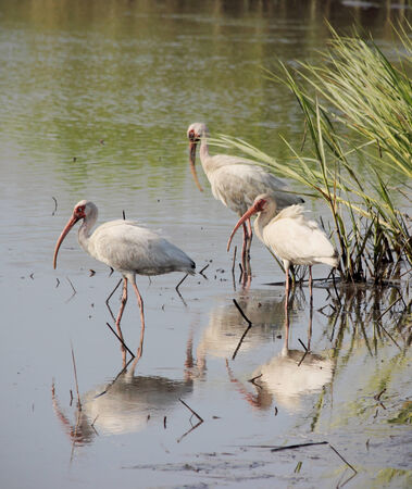 wade: A group of American White Ibis wade together in a coastal estuary