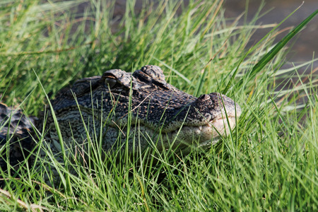 warms: An American Alligator warms itself at the waters edge