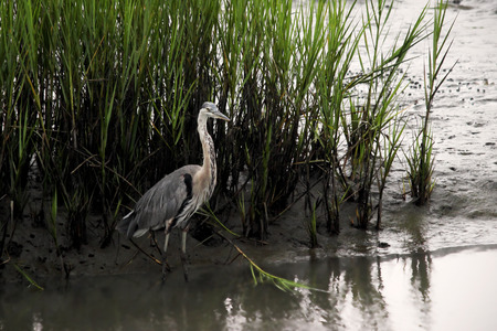 A Great blue heron stands among the spartina grass in a coastal wetland.