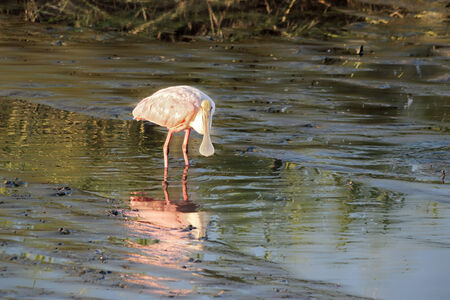 roseate: A Roseate spoonbill wades within a coastal marsh st sunset. Photographed in South Carolina.