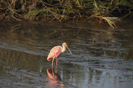 A Roseate spoonbill wades within a coastal marsh st sunset. Photographed in South Carolina.