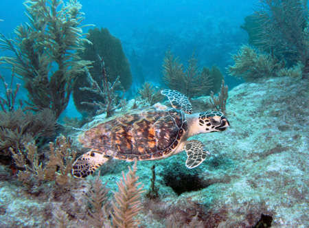 molasses: A Hawksbill nuota tartarughe marine lungo Molasses Reef a Key Largo, in Florida.