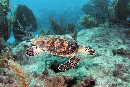 coral sea: A Hawksbill sea turtle swims along Molasses Reef in Key Largo, Florida.