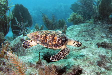 schildkr�te: Eine Hawksbill Meeresschildkr�te schwimmt zusammen Molasses Reef in Key Largo, Florida.