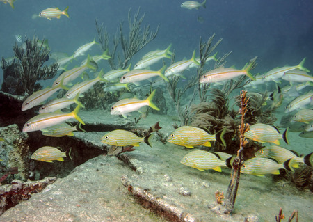 goatfish: A school of Goatfish and Blue striped grunts swim  on the seacape of Molasses Reef and the shipwreck of the City of Washington.