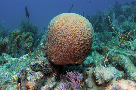 sealife: A Grooved Brain Coral on Molasses Reef in Key Largo, Florida. Stock Photo
