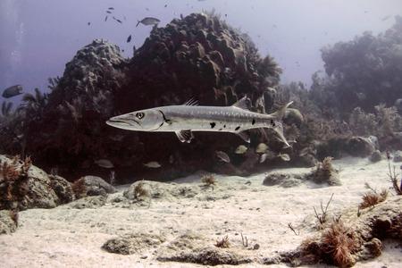 barracuda: A Great Barracuda swims along Molasses Reef in the Florida Keys National Marine Sanctuary.