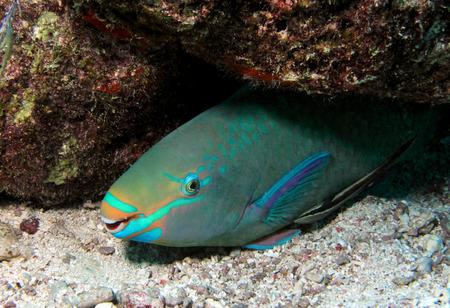 parrotfish: A Queen Parrotfish rests beneath a coral ledge.