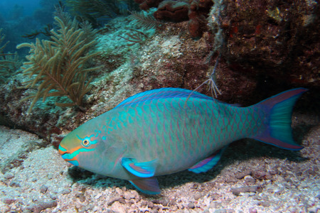 parrotfish: A Queen Parrotfish swims along a coral reef in the Florida Keys National Marine Sanctuary. Stock Photo