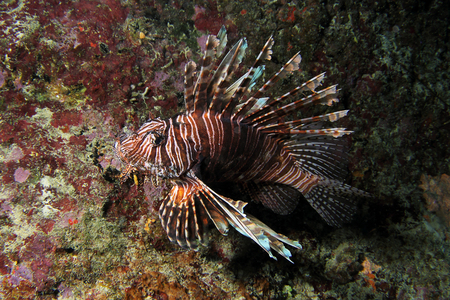 common lionfish: A beautiful but invasive Lionfish of the species Pterois miles. Photographed on the coral reefs of CuracaoDutch Carribean.