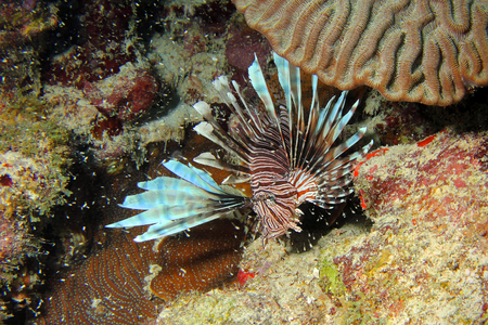 invasive species: A beautiful but invasive Lionfish of the species Pterois miles. Photographed on the coral reefs of Curacao,Dutch Carribean. surrounded by thousands of larvae.