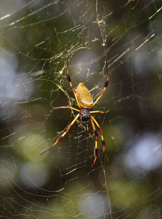 wood spider: A Golden silk orb-weaver sits patiently in its web. Stock Photo