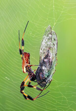wood spider: A female Golden silk orb-weaver in web with with a cicada for prey. Stock Photo