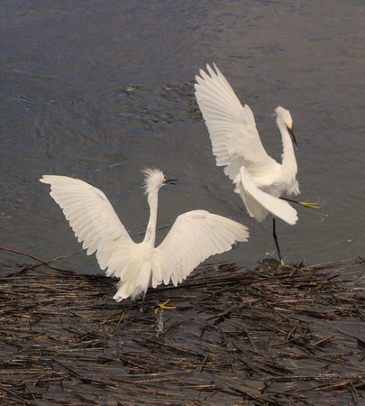 egrets: Two Snowy egrets bickering within a coastal estuary.