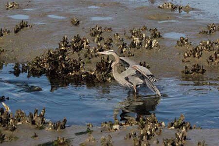 spread wings: A Great blue heron with spread wings wades in a coastal salt marsh.