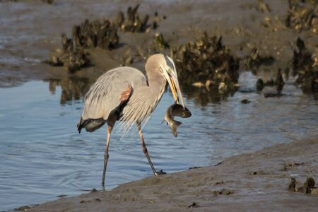 salt marsh: A Great blue heron catches a large fish in a coastal salt marsh. Stock Photo
