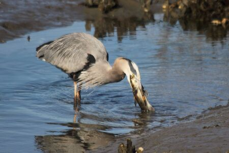 salt marsh: A Great blue heron catches a large fish in a coastal salt marsh and prepares to swallow it whole.