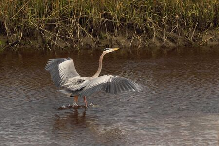 A Great blue heron comes in for a landing in a coastal salt marsh.