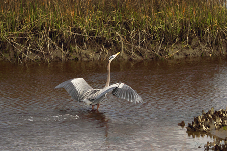 salt marsh: A Great blue heron comes in for a landing in a coastal salt marsh.