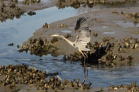 salt marsh: A Great blue heron with spread wings takes off from a coastal salt marsh.
