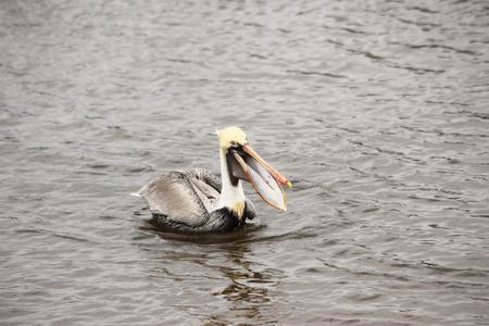 estuary: A male Brown pelican feeding in a coastal estuary.