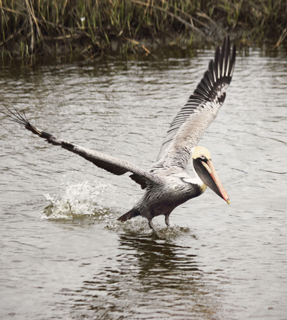 animal pouch: A male Brown pelican lands upon the water in a coastal estuary. Stock Photo