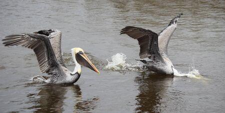 estuary: Two male Brown pelicans feed in a coastal estuary. Stock Photo