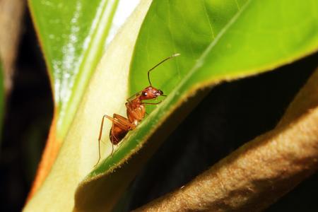 hormiga hoja: Una búsqueda de hormigas carpinteras roja para una comida en una hoja.