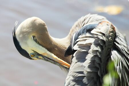A Great blue heron preening at the waters edge.