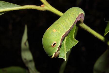 mimicry: A Spicebush Swallowtail caterpillar crawls along a leaf. Stock Photo