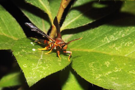 apocrita: A Red Wasp on a leaf Stock Photo