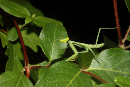 A Praying mantis moves about the foliage. Stock Photo