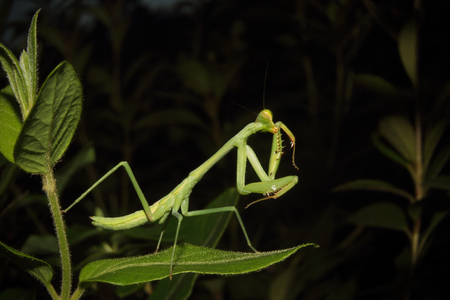 A Praying mantis moves about the foliage. Archivio Fotografico