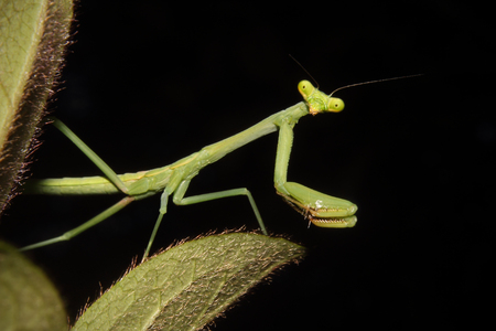 mantodea: A Praying mantis moves about the foliage. Stock Photo