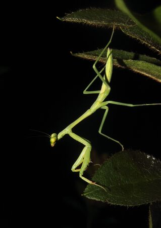 arthropods: A Praying mantis moves about the foliage. Stock Photo