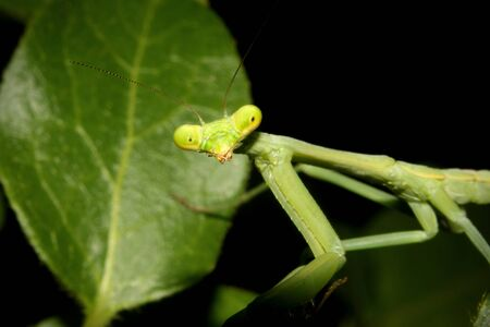 mantid: A Praying mantis moves about the foliage. Stock Photo