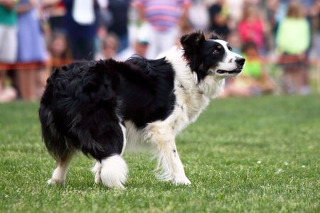 instinct: A demonstration of Border Collie herding skills at the inaugaral Myrtle Breach Highland Games on March 19,2016 in Myrtle Beach, South Carolina USA Editorial