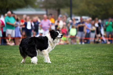 herding: A demonstration of Border Collie herding skills at the inaugaral Myrtle Breach Highland Games on March 19,2016 in Myrtle Beach, South Carolina USA Editorial