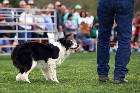 myrtle beach: A dog anxiously awaits commands during a demonstration of Border Collie herding skills at the inaugaral Myrtle Breach Highland Games on March 19,2016 in Myrtle Beach, South Carolina USA