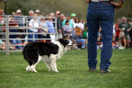 instinct: A dog anxiously awaits commands during a demonstration of Border Collie herding skills at the inaugaral Myrtle Breach Highland Games on March 19,2016 in Myrtle Beach, South Carolina USA