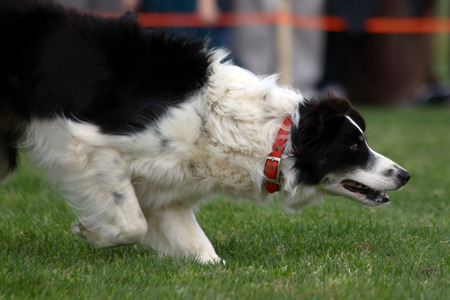gaelic: A dog stalking a herd of sheep  during a demonstration of Border Collie herding skills at the inaugaral Myrtle Breach Highland Games on March 19,2016 in Myrtle Beach, South Carolina USA