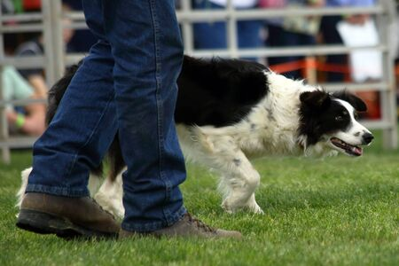 commands: A dog anxiously awaits commands during a demonstration of Border Collie herding skills at the inaugaral Myrtle Breach Highland Games on March 19,2016 in Myrtle Beach, South Carolina USA