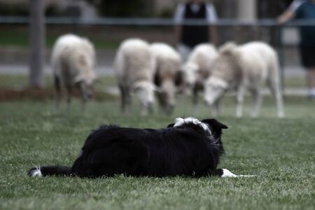 herding dog: A dog stalking a herd of sheep  during a demonstration of Border Collie herding skills at the inaugaral Myrtle Breach Highland Games on March 19,2016 in Myrtle Beach, South Carolina USA