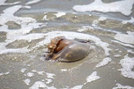 砂浜に打ち上げられた大砲のクラゲ。