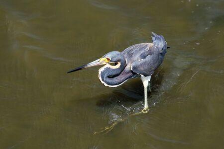 三色化したサニは海岸沿いの河口を歩き回る。 写真素材