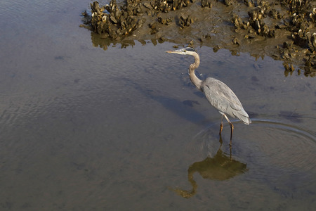 A Great Blue Heron hunting within a saltwater estuary. 版權商用圖片