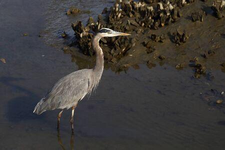 海水河口内のグレートブルーヘロン狩り。 写真素材