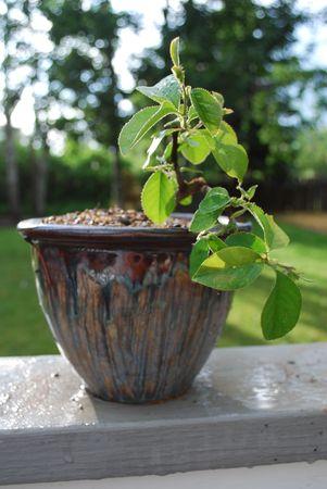 Quince Chino Bonsai Foto de archivo - 5106102